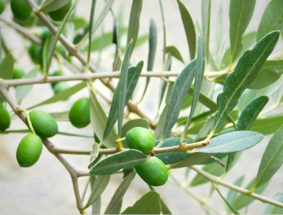 olivenbaum haushalts und gartenlexikon. Black Bedroom Furniture Sets. Home Design Ideas