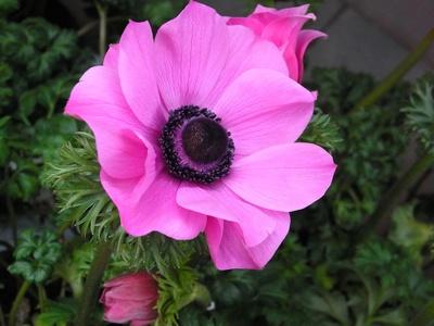 Anemone winterhart