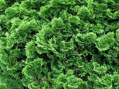 Lieblings Muschelzypresse | Haushalts- und Gartenlexikon @TW_51