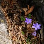 Leberblümchen, Bild: Petra Dirscherl / pixelio.de